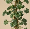 Philodendron pterotum; Bild 2