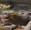 Arrauschildkröte; Bild 0
