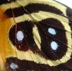 Augenflecken bei Schmetterlingen; Bild 3