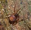 Die Fettspinne – Europäische Spinne des Jahres 2018; Bild 4
