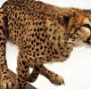 Gepard; Bild 0