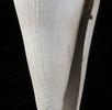 Kegelschnecke aus fossiler Seegraswiese; Bild 0