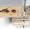 Trockenpräparate; Bild 4