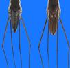 Wasserwanzen; Bild 1