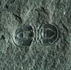 Planktonischer Trilobit; Bild 4