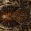 Südrussische Tarantel - Die größte Spinne Österreichs; Bild 3