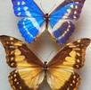 Geschlechtsdimorphismus bei Schmetterlingen; Bild 0