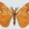 Geschlechtsdimorphismus bei Schmetterlingen; Bild 4