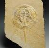 Fossiler Pfeilschwanzkrebs; Bild 0