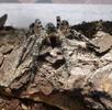 Südrussische Tarantel - Die größte Spinne Österreichs; Bild 0