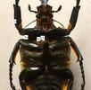 Anatomie des Insektenbeines; Bild 1
