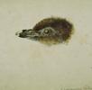 Kopf eines jungen Felsenpinguins; Bild 0