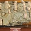 Röhrenmuschel; Bild 4