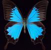 Die Flügelschuppen der Schmetterlinge; Bild 0
