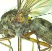 Zweiflügelige Insekten; Bild 0