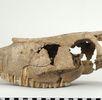 Oberschädel des latènezeitlichen Ponys; Bild 4
