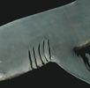 Gemeiner Grundhai; Bild 0