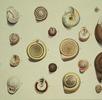 Born und die Molluskensammlung; Bild 2