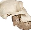 Unterkiefer eines Paranthropus boisei; Bild 1