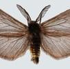 Geschlechtsdimorphismus bei Schmetterlingen; Bild 2