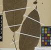 Die Früchte des Kakaobaumes; Bild 2