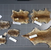 Digitalisierung der Säugetiersammlung; Bild 0