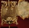 Strahlenschildkröte; Bild 1