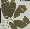 Blüten des Kakaobaums; Bild 1