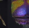 Die Goldwespe  Euchroeus purpuratus; Bild 1