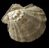 Überreste der Riesenkammmuschel; Bild 0