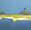 Südlicher Glatthai; Bild 0