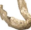 Unterkiefer eines Paranthropus boisei; Bild 0