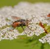 Mücken und Fliegen; Bild 0