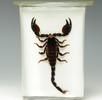 Kaiserskorpion; Bild 4