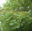 Der Ailanthus-Spinner; Bild 2