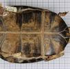 Seychellen - Klappbrustschildkröte; Bild 4