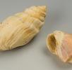 Kronenschnecken Gattung Melanopsis; Bild 0