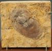 Fossile Schabe; Bild 1