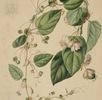 Passiflora jileki; Bild 1