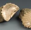 Dreiecksmuschel; Bild 2