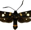 Weißfleck-Widderchen; Bild 1