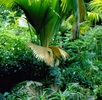 Seychellenpalme oder Seychellennuss; Bild 0