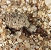 Ameisenlöwe; Bild 1