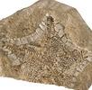 Fossiler Kissenseestern; Bild 4