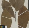 Weitere Kakaoarten; Bild 1