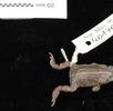 Kreuzkröte; Bild 1