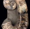 Entrollter Ammonit; Bild 2
