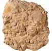Nummuliten aus der Pyramide von Gizeh; Bild 2