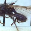 Die Linsenfliege (Piophilidae - Käsefliegen); Bild 4