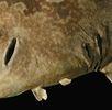 Japanischer Teppichhai (Wobbegong); Bild 1